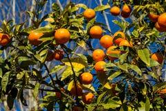 Los mandarines anaranjados crecen en el árbol Imágenes de archivo libres de regalías