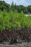 Los mangles en el estuario Laem cantan, Tailandia Imagen de archivo