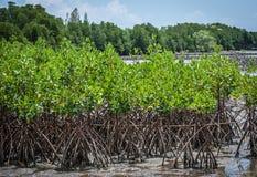 Los mangles en el estuario Laem cantan, Tailandia imagen de archivo libre de regalías