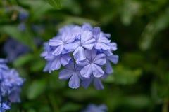Los manojos de p?talos min?sculos azules del leadwort del cabo que florecen en las hojas del verdor y el fondo borroso, saben com fotografía de archivo