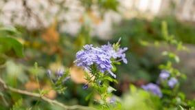Los manojos de p?talos min?sculos azules del leadwort del cabo que florecen en las hojas del verdor y el fondo borroso, saben com fotos de archivo