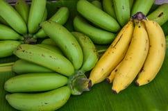 Los manojos de plátano dan fruto en fondo verde de la hoja Fotografía de archivo