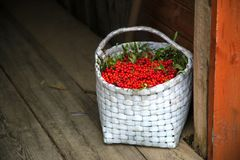 Los manojos de serbal recogieron en la estación del otoño en cesta Imagen de archivo