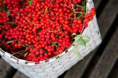 Los manojos de serbal recogieron en la estación del otoño en cesta Imagenes de archivo