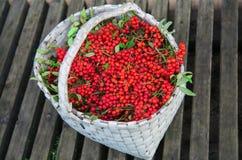 Los manojos de serbal recogieron en la estación del otoño en cesta Fotografía de archivo libre de regalías