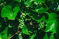 Los manojos de uvas verdes maduran bajo luz del sol en ramas Fotos de archivo