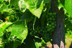 Los manojos de uvas verdes maduran bajo luz del sol en ramas Imagen de archivo