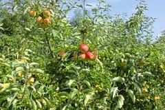 Los manzanos Cargaron con las manzanas en una huerta Imagenes de archivo