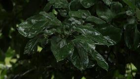 Los manzanos con las manzanas verdes en una rama en el día lluvioso, gotitas gotean en las hojas 4K almacen de video