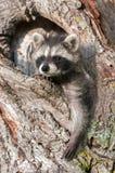 Los mapaches jovenes (lotor del Procyon) cuelgan hacia fuera en árbol Imágenes de archivo libres de regalías