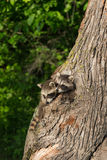 Los mapaches jovenes (lotor del Procyon) empujan las cabezas fuera de árbol Fotografía de archivo
