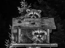 Los mapaches se juntan en blanco y negro Fotos de archivo libres de regalías