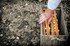 Los marcos de la miel se insertan en la caja, proceso de obtener la miel, concepto Imágenes de archivo libres de regalías