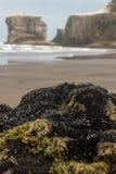 Los mejillones cubrieron rocas en la playa de Muriwai Imágenes de archivo libres de regalías