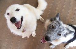 Los mejores amigos 2 collies Fotografía de archivo libre de regalías