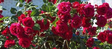 Los mejores arbustos de subieron en mi jardín Fotografía de archivo libre de regalías