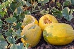 Los melones amarillos maduros son comidos por los animales de los parásitos Foto de archivo libre de regalías
