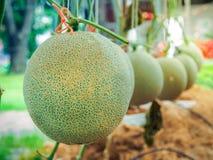 Los melones los melones o del cantalupo verdes de Japaneses plantan el crecimiento en la granja imagenes de archivo