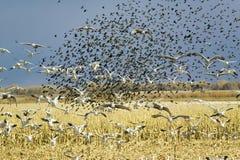 Los millares de gansos de nieve, de pájaros negros y de grúas de Sandhill vuelan sobre el campo de maíz en la reserva de Bosque d Foto de archivo libre de regalías
