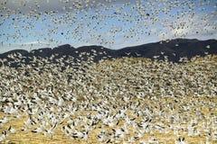 Los millares de gansos de nieve vuelan sobre campo de maíz en la reserva de Bosque del Apache National, cerca de San Antonio y de Foto de archivo