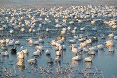 Los millares de gansos de nieve y de grúas de Sandhill se sientan en el lago en la salida del sol después de helada temprano del  Imágenes de archivo libres de regalías