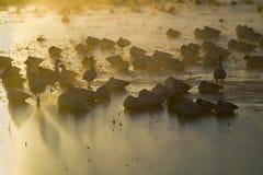 Los millares de gansos de nieve y de grúas de Sandhill se sientan en el lago en la salida del sol después de helada temprano del  Fotos de archivo libres de regalías
