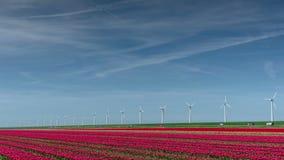 Los molinoes de viento eléctricos modernos acercan al campo rojo enorme del tulipán en Holanda Ingeniería ecológica Respetuoso de almacen de video