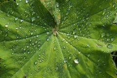 Los mollis de la alquimila - chimenea de las señoras - las hojas en abanico plantan el afte imagenes de archivo