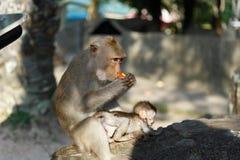 Los monos adultos se sientan y comiendo la comida con el bebé del mono en el parque Fotografía de archivo libre de regalías