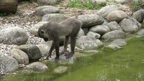 Los monos buscan leucophaeus del Mandrillus de la comida almacen de metraje de vídeo