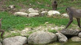 Los monos buscan leucophaeus del Mandrillus de la comida metrajes