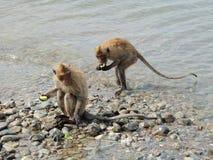 Los monos comen la comida en la piedra en el agua Fotografía de archivo libre de regalías