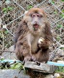 Los monos comen las galletas Fotografía de archivo