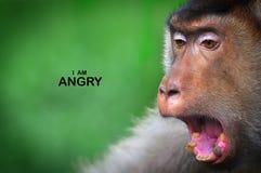 Los monos de la expresión facial reflejan conducta humana Imágenes de archivo libres de regalías