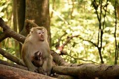 Los monos del bebé reciben cuidado de su madre Fotos de archivo libres de regalías