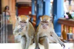Los monos en Batu excavan el templo hindú Gombak, Selangor malasia imagenes de archivo