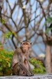 Los monos se sientan Fotografía de archivo libre de regalías