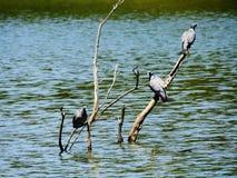 Los 3 mosqueteros de la paloma que se sientan en una rama foto de archivo libre de regalías