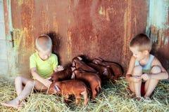 Los muchachos europeos juegan con los cerdos rojos de la raza del Duroc-Jersey Llevado nuevamente foto de archivo libre de regalías