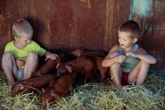 Los muchachos europeos juegan con los cerdos rojos de la raza del Duroc-Jersey Llevado nuevamente Granja rural de los cerdos imagen de archivo libre de regalías
