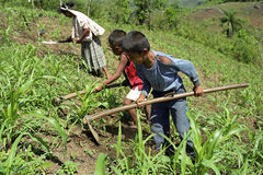 Los muchachos indios están trabajando con la madre en campo de maíz Imágenes de archivo libres de regalías