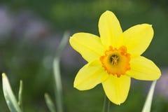 Los narcisos amarillos de la primavera todavía florecen, vida amarilla fresca del narciso en fondo verde del jardín Fotografía de archivo