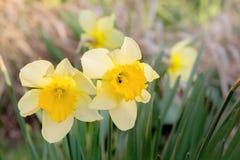 Los narcisos amarillos en una primavera cultivan un huerto en el sol, primer Imagenes de archivo