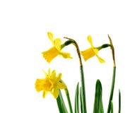 Los narcisos amarillos florecen, se cierran para arriba, el fondo blanco Sepa como narciso, daffadowndilly, narciso, y junquillo fotos de archivo
