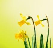 Los narcisos amarillos florecen, se cierran para arriba, fondo amarillo del degradee Sepa como narciso, daffadowndilly, narciso,  imagen de archivo libre de regalías