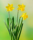 Los narcisos amarillos florecen, se cierran para arriba, fondo verde del degradee Sepa como narciso, daffadowndilly, narciso, y j foto de archivo libre de regalías