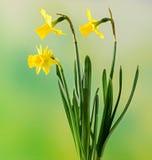 Los narcisos amarillos florecen, se cierran para arriba, fondo verde del degradee Sepa como narciso, daffadowndilly, narciso, y j fotografía de archivo
