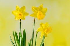 Los narcisos amarillos florecen, se cierran para arriba, verde para amarillear el fondo del degradee Sepa como narciso, daffadown Foto de archivo