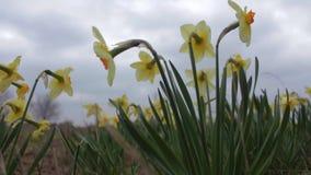 Los narcisos amarillos se sacuden en una brisa apacible en un día nublado metrajes