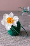 Los narcisos florecen en un enredo del hilo de lino verde Imagen conceptual Fotografía de archivo